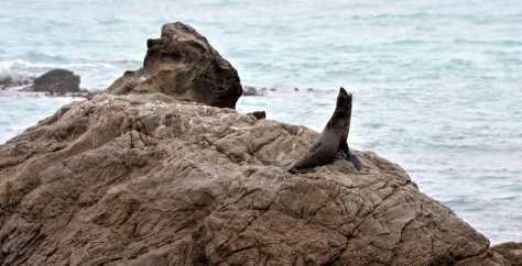 Seals on the rocks at Kaikoura