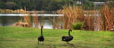 Swans at Lake Hakanoa