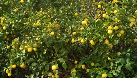 Someone knows how to grow Lemons!