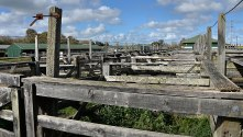 The saleyards pens